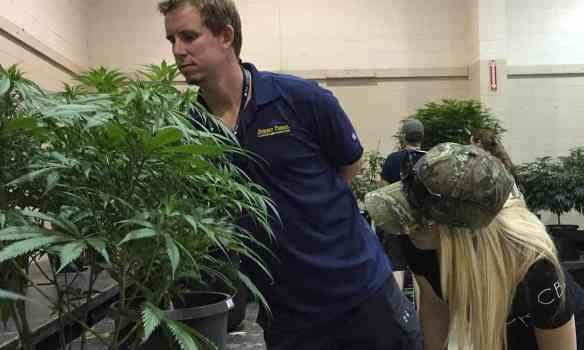 Greg Seybert, head farmer at marijuana grower Synergy Farms, inspects a marijuana plant with his girlfriend, Samantha Aune. Photograph: Gillian Flaccus/AP