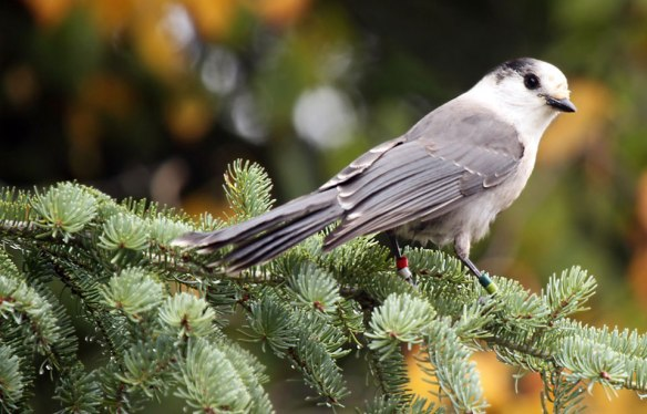 Canada's new official bird; the Gray Jay aka Whiskey Jack